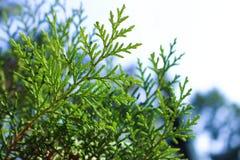 Thuya som växtcloseupen Arkivbild