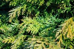Thuyainstallatie op de lente Groene textuur, achtergrond Royalty-vrije Stock Foto