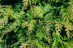 Thuyainstallatie op de lente Groene textuur, achtergrond Royalty-vrije Stock Foto's