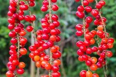 Thwaitesianum Muell Antidesma Στοκ Φωτογραφία