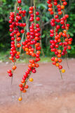 Thwaitesianum Muell Antidesma Στοκ Εικόνα