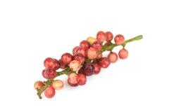 Thwaitesianum Muell Antidesma Arg , ΜΑ-Mao (ταϊλανδικό όνομα) Στοκ εικόνα με δικαίωμα ελεύθερης χρήσης