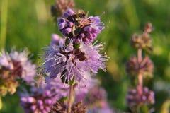 Thym dans le lat d'herbe Serpyllum-détail de thymus photographie stock