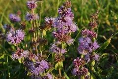 Thym dans le lat d'herbe Serpyllum de thymus photographie stock libre de droits