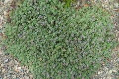Thym de rampement fleurissant dans le jardin de rocaille Photo libre de droits