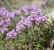 Thym en fleur Photographie stock