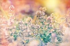 Thym - herbe médicale Photo stock