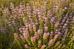 Thyme. Field in high mountain Royalty Free Stock Photography