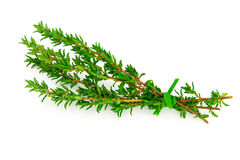 Thyme Stock Photography