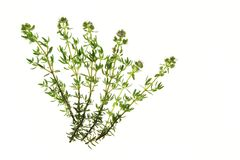 Thyme. Flowering thyme, Thymus vulgaris, before a white background Stock Photography