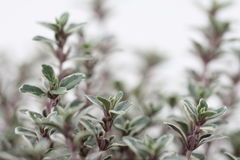 Thyme. Fresh thyme, shallow depth of field Stock Images