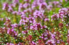 thyme Imagens de Stock Royalty Free
