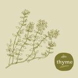 thyme Imagem de Stock
