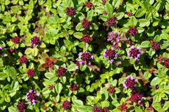 Thyme background Royalty Free Stock Photo