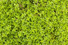 Thyme background. Top view on thyme shrub Stock Photo
