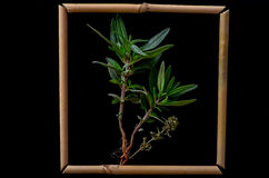 Thyme. Bamboo framed shot on black background Royalty Free Stock Photography