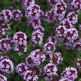 Thyme in bloesem stock foto