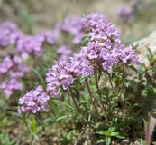 Thyme in bloom Stock Photography