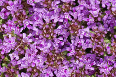 Thyme blossom Stock Images