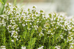Thyme blossom in the herb garden Stock Photos