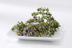 Thyme blossom leaves Stock Photo