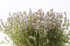 Thyme blossoming Stock Photos