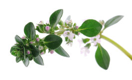 Thyme branch Stock Photography
