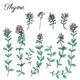 Thyme branch flower hand drawn vector illustration isolated on white, Natural cooking doodle spicy ingredient, Healing. Herb design for greeting card Stock Photography