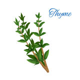 Thyme branch herb with leaves isolated icon Stock Photography