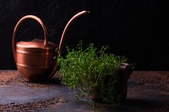 Bundle of fresh thymes on a grunge metal background. Thyme bunch in copper pail. Bundle of fresh thymes on a grunge metal background stock photo