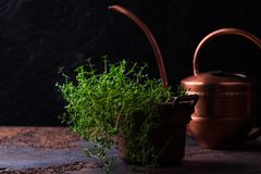Bundle of fresh thymes on a grunge metal background. Thyme bunch in copper pail. Bundle of fresh thymes on a grunge metal background stock photography