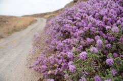 Thyme Bush Stock Images