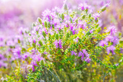 Thyme. A bush of purple thyme flowers Stock Photos