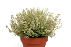 Thyme in clay pot Royalty Free Stock Photography