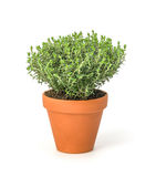 Thyme in a clay pot Stock Images