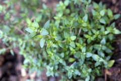 Thyme closeup Royalty Free Stock Photo