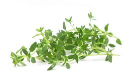 Thyme common fresh leaves Stock Photography