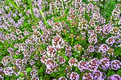 Thyme in de tuinbedden stock afbeelding