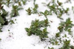 Thyme in de winter stock afbeeldingen