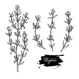 Thyme  drawing set. Isolated thyme plant and leaves. Herbal engraved style illustration. Detailed organic product sketch. Cooking spicy ingredient Stock Image