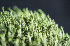 Thyme Faustini closeup on leaves Royalty Free Stock Images