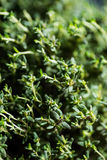Thyme Faustini closeup on leaves Royalty Free Stock Photo