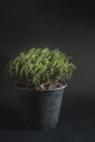 Thyme Faustini pot with copy space Stock Photography