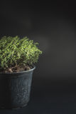Thyme Faustini pot with copy space Royalty Free Stock Photography