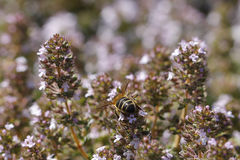 Thyme flower and bee Royalty Free Stock Images