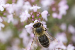 Thyme flower and bee Stock Image