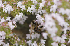 Thyme flower and bee Royalty Free Stock Image