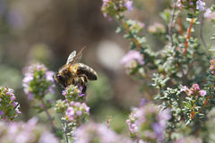 Thyme flower and bee Stock Photography