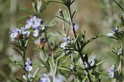 Thyme Flower Royalty Free Stock Photos