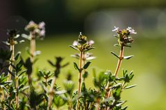 Thyme with flower Royalty Free Stock Image